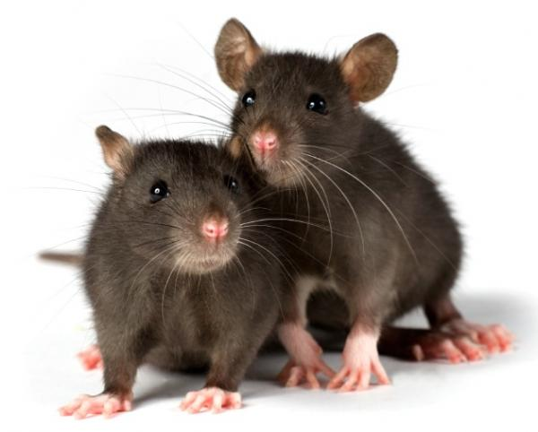 How To Get Rid Of Rats With Rat Poison And Traps Pest